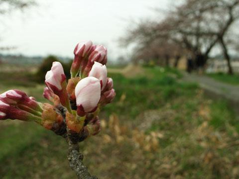 桜、開花。梅は見納め。_e0084756_8462194.jpg