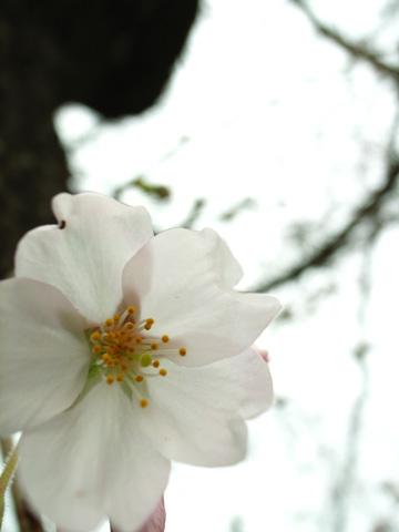 桜、開花。梅は見納め。_e0084756_846456.jpg
