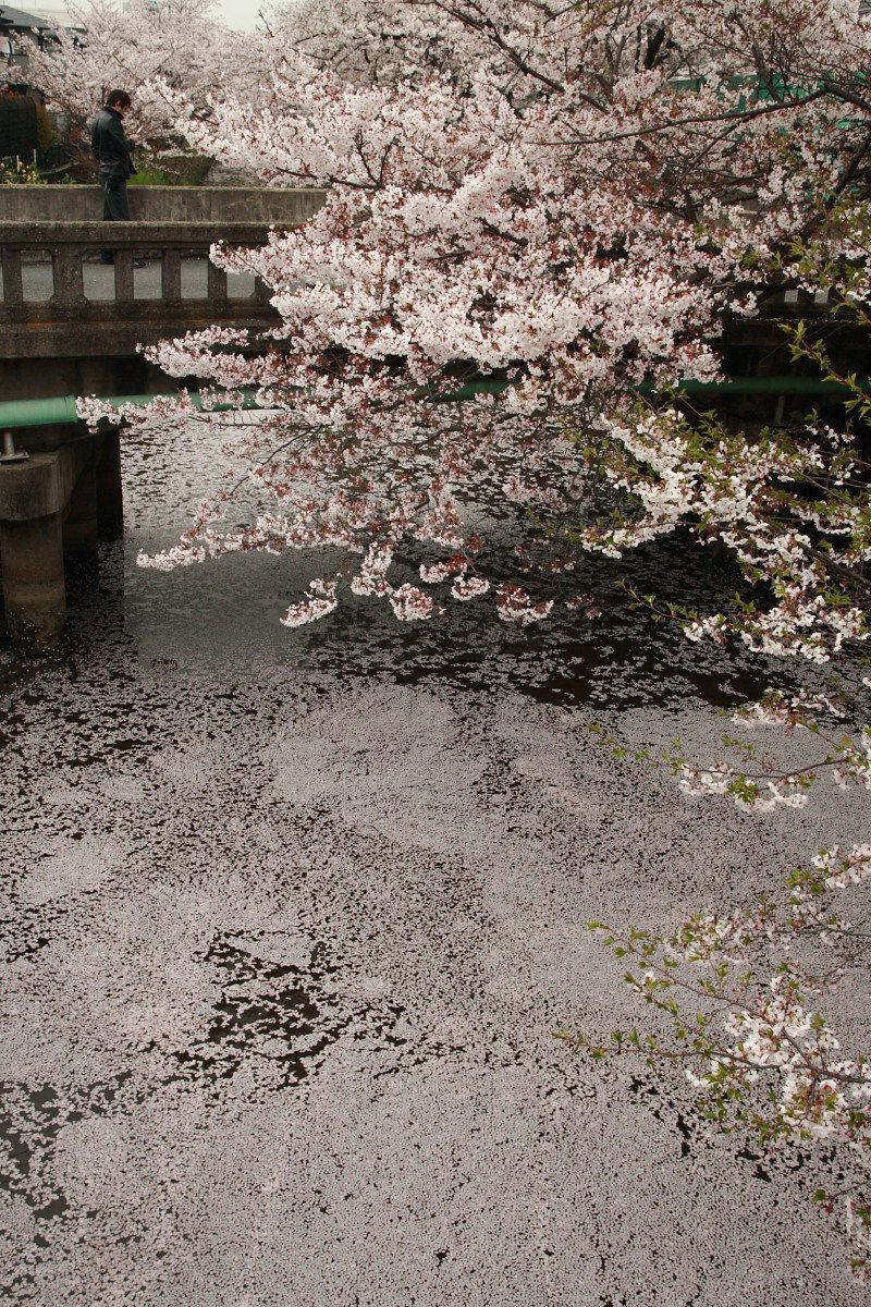 ご近所の桜 2_f0021869_031166.jpg