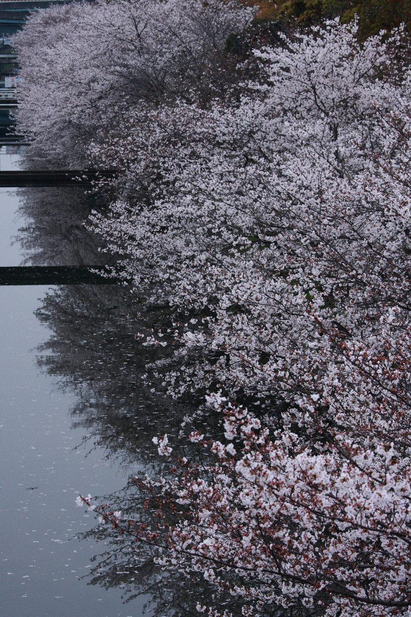 ご近所の桜 2_f0021869_044625.jpg