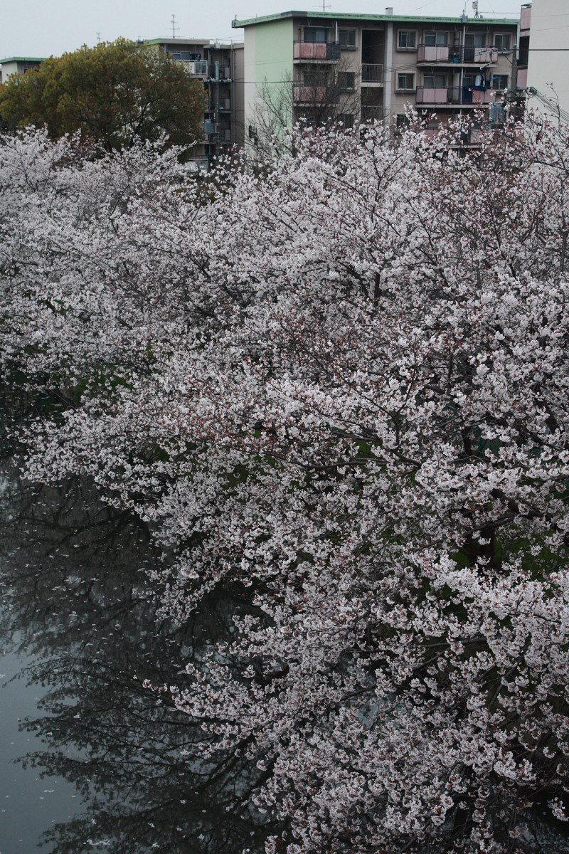 ご近所の桜 2_f0021869_053547.jpg