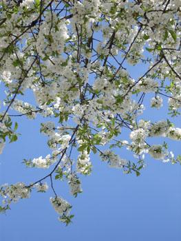 ミュンヘンの桜・1_f0032969_14185566.jpg