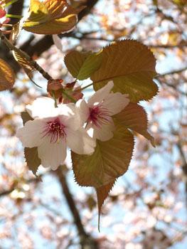 ミュンヘンの桜・2_f0032969_1440323.jpg