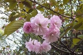 八重桜_d0113725_23394946.jpg