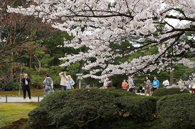 満開の桜・兼六園_d0043136_1971334.jpg