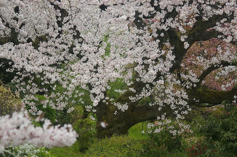 満開の桜・兼六園_d0043136_1992562.jpg