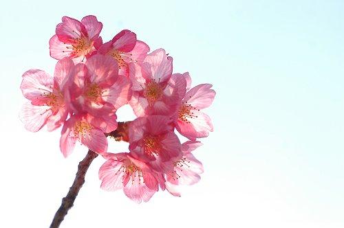 桜_e0000951_11444518.jpg