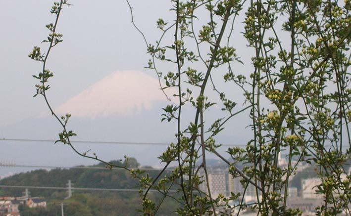 モッコウバラとそのはるか先に富士山&至福の瞬間_c0014967_12354225.jpg