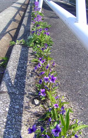 アスファルトに咲く花のぉように~♪_a0047200_20205618.jpg