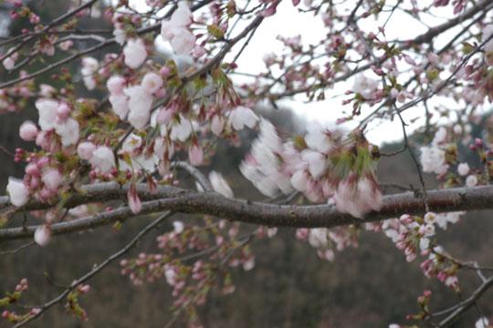 開花はしたものの・・・_e0084756_19574438.jpg