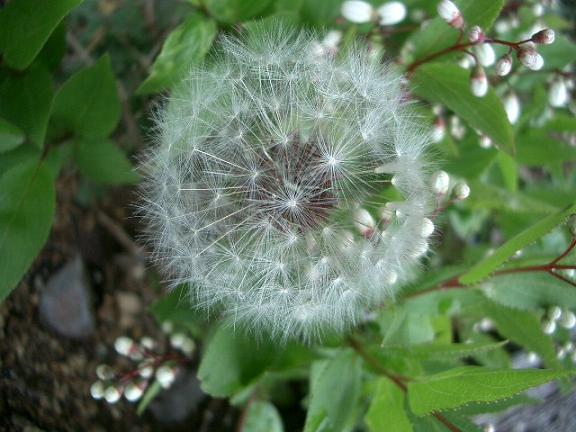 「タンポポの綿毛」_b0087994_23273619.jpg