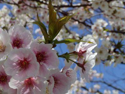 京都御所のさくらは満開 (事前予約しないと見学できません。)_f0012154_115283.jpg