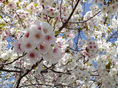 京都御所のさくらは満開 (事前予約しないと見学できません。)_f0012154_118440.jpg