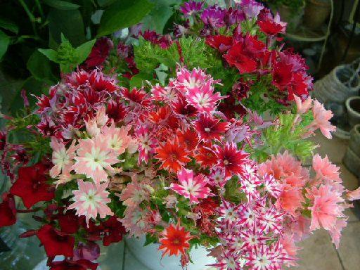オークリーフ(テーマは春のピンク色!)_f0049672_1144436.jpg