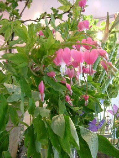 オークリーフ(テーマは春のピンク色!)_f0049672_11452272.jpg