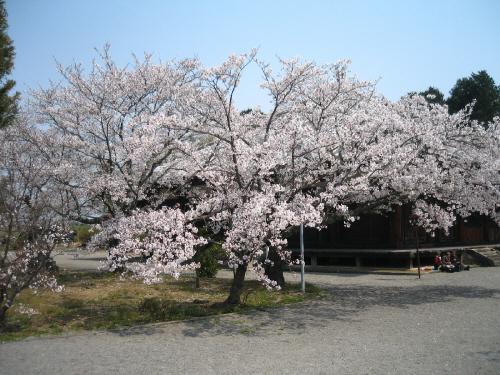 境内の中の一際大きな桜の木。この日は満開のようで、この桜を眺めながらお弁当を広げている人が見えています。
