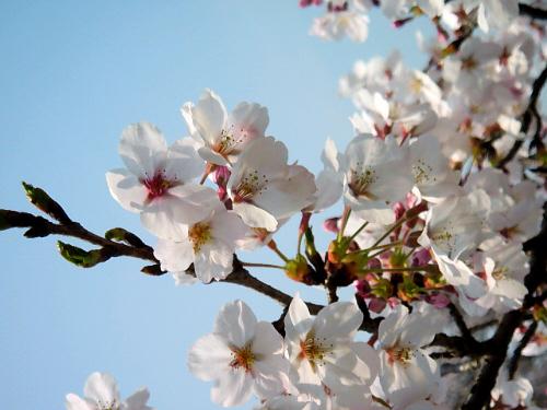 桜の先端部分のアップ画像。ほんのりピンク色の桜の花びらが、青空の下で日に透けて綺麗です。つぼみの濃いピンク色が花びらの白さを際立たせるアクセントになっています。