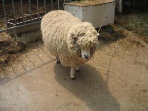 丸々とした羊。毛がふさふさの状態で、まるで漫画に出てくるような羊のいでたちです。写真には写っていませんが、目線の先には我が家のわんこがいます。