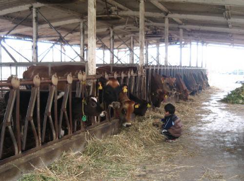 ずらりと並んだ牛舎の牛たち。小さな男の子がしゃがみこんで、牧草を手に持って牛に食べさせています。