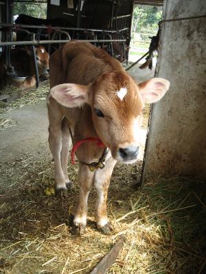 薄いベージュ色の毛並みの子牛。動物って子供の時は何でもカワイイですね。実に愛らしい顔つきをしています。ひたいの白い模様がハート型に見えます。