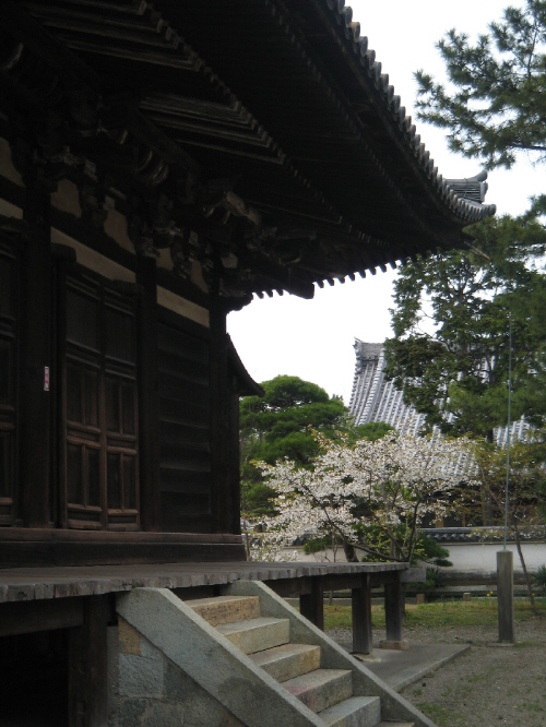 本堂から、庭の桜やその奥の建物を望む構図。本堂の味のある黒ずんだ古さが、白い桜を浮き立たせています。