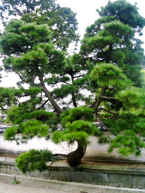 境内の中で一際立派で目を引いた松の木。上にそして左右に伸びた松の木の緑の美しさが壮観でした。