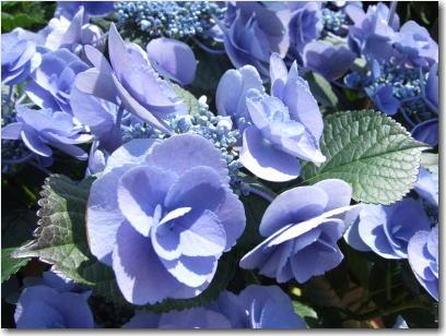 4月19日紫陽花