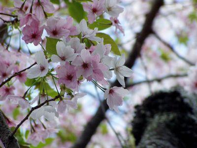 桜色、萌黄色。_f0012154_20573654.jpg