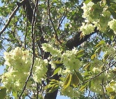 飛鳥山の桜いろいろ_c0052576_21515471.jpg