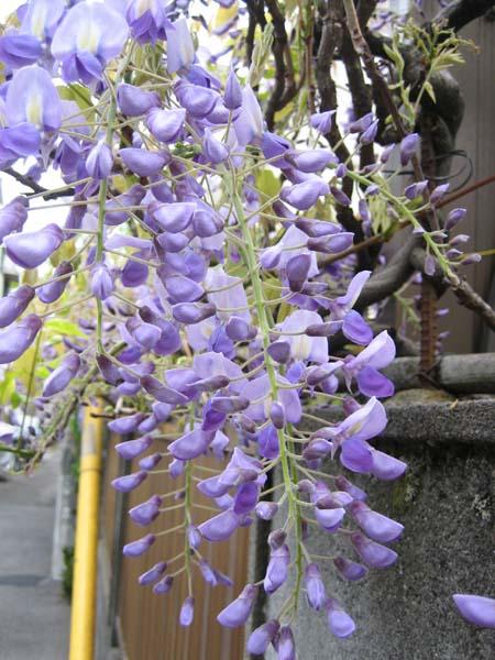 藤の花が咲きました。_c0052576_21554011.jpg