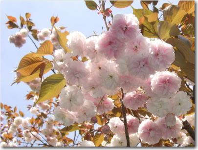 4月20日八重桜