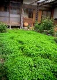 ただいま。春のお庭とクローバーとバラと大好きな父と・・・_d0077603_128718.jpg