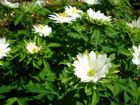 開花!!小さな白い花_d0080906_10385944.jpg