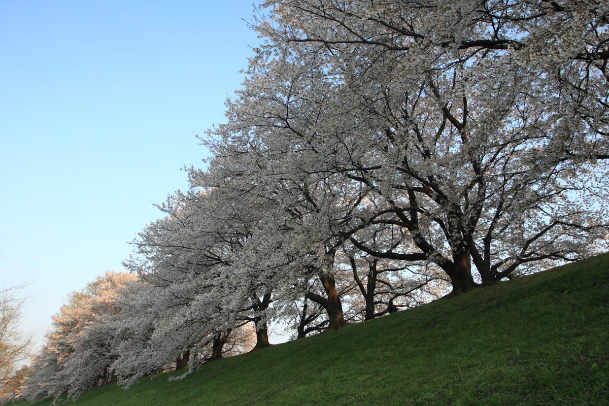 京都 八幡市  淀川河川公園背割堤_f0021869_1834568.jpg
