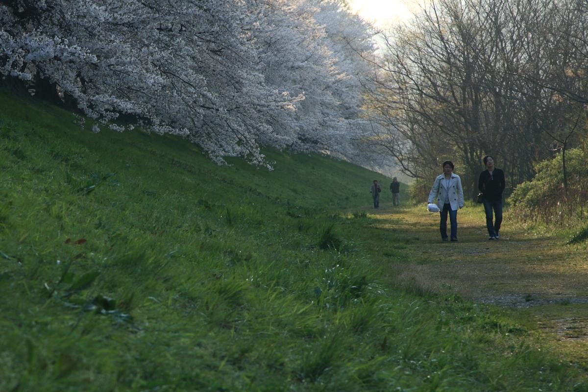 京都 八幡市  淀川河川公園背割堤_f0021869_1835280.jpg