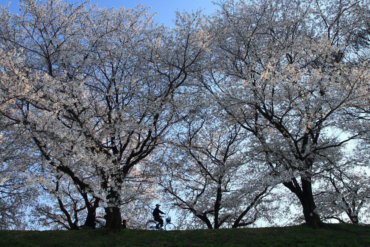 京都 八幡市  淀川河川公園背割堤_f0021869_1837392.jpg
