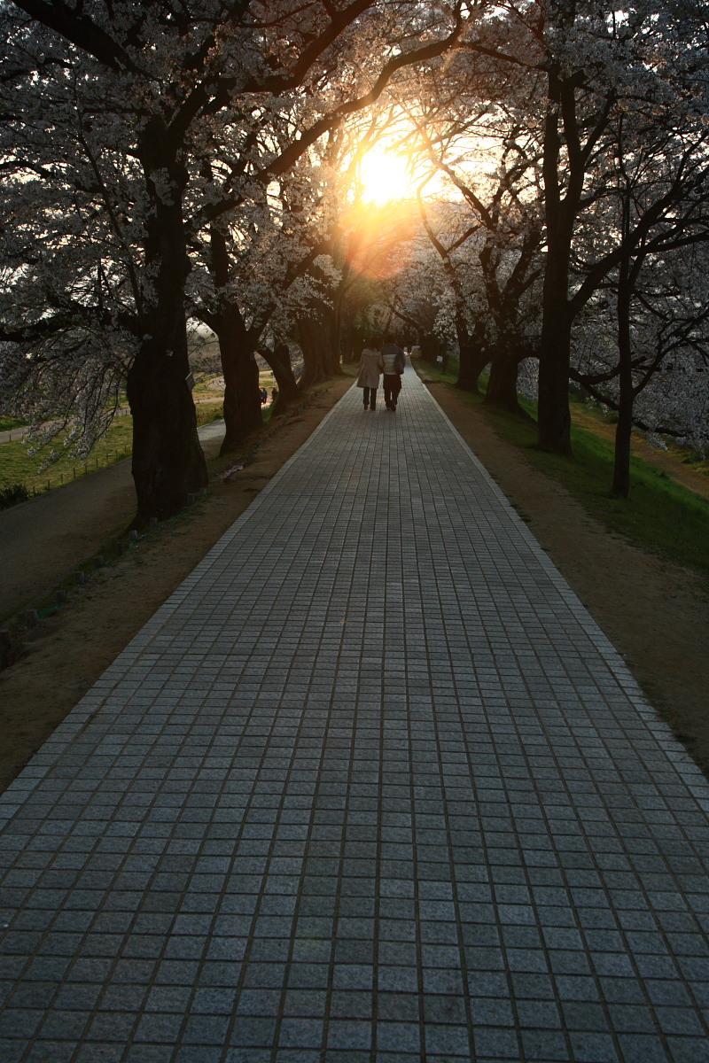 京都 八幡市  淀川河川公園背割堤_f0021869_18381192.jpg