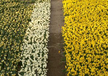 水仙の花が満開ですよ。_d0102327_1522839.jpg