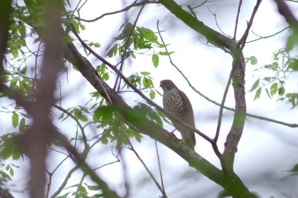 夏鳥や~い_b0036743_1813517.jpg