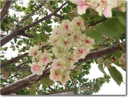 4月22日ぎょいこう桜