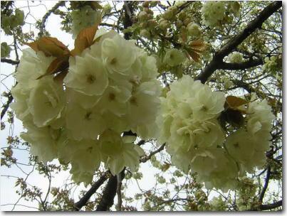 4月22日うこん桜