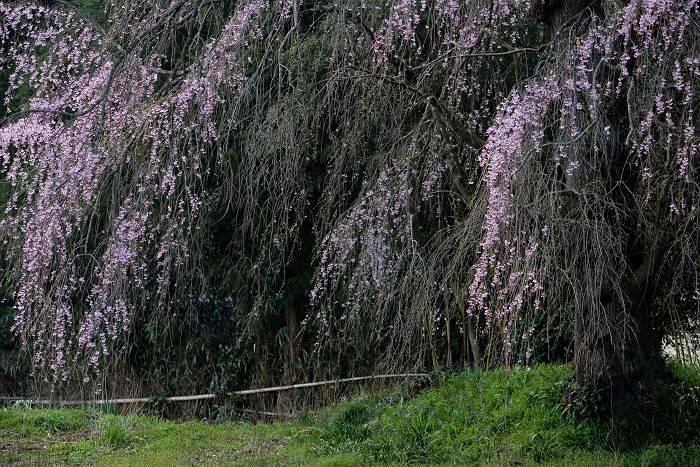 枝垂れ桜_b0074098_7452768.jpg