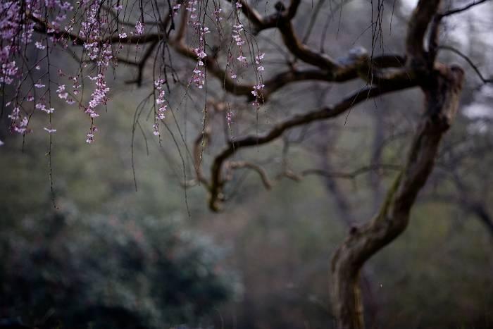 枝垂れ桜_b0074098_7454667.jpg