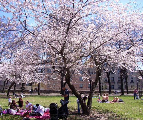 ニューヨークの桜シーズン_b0007805_134213.jpg