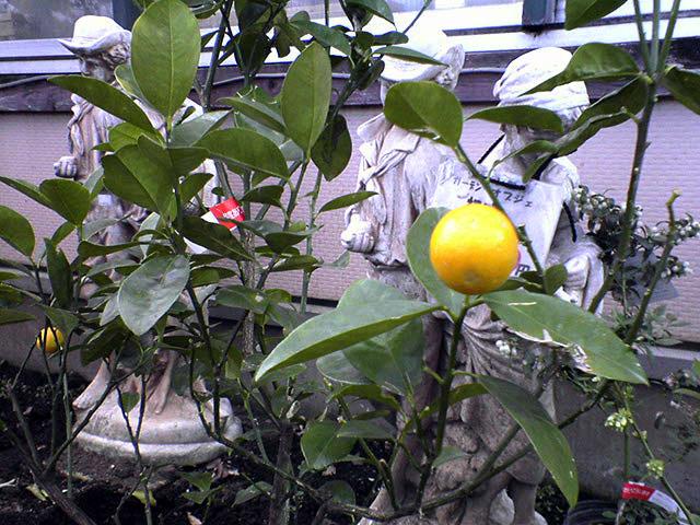 家庭菜園もしくはベランダー_a0016730_19594787.jpg