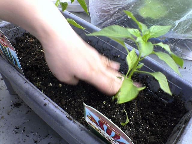 家庭菜園もしくはベランダー_a0016730_2001415.jpg