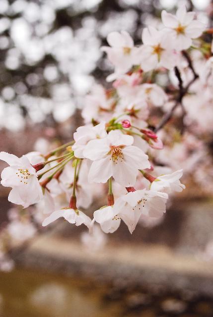 いまさら桜_d0119505_625947.jpg