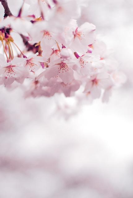 いまさら桜_d0119505_6293060.jpg