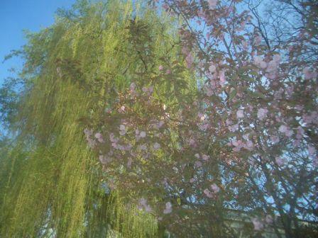 ワルシャワ大学の桜と柳_b0017215_1501660.jpg