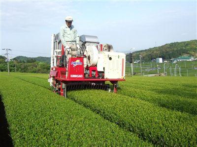 全国茶品評会出品茶製造始まる_d0108817_1434668.jpg